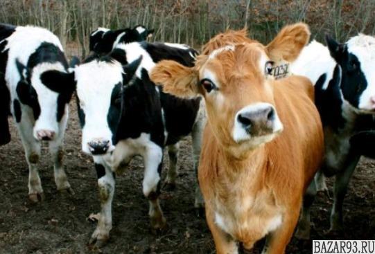 Телята бычки мясной породы от 1 мес